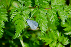 Resting, holly blue butterfly (Dave_A_2007) Tags: celastrinaargiolus lycaenidae bluebutterfly butterfly gossamerwingedbutterfly hollybluebutterfly insect nature wildlife wolverhampton westmidlandscombinedauthority england