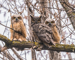 The Heckrodt Great Horned Owl Family. (THEjdawg) Tags: great horned owl heckrodt menasha wisconsin fox cities