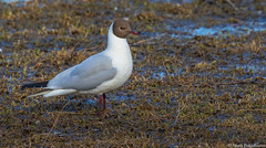 Naurulokki (Larus ridibundus), Black-headed gull (pohjoma) Tags: lintu naurulokki blackheadedgull larusridibundus canoneos7dmarkii canonef100400mmf4556lisiiusm finland wildanimal animal plumage waterbird birdwatching nature wildlife waterfowl bird chroicocephalusridibundus commonblackheadedgull