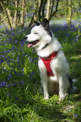 poses well (Sundornvic) Tags: woods trees path puppy dog collie welsh triblue merle sun shine pet portrait bluebells nature paths