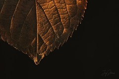 Autumnal Leaf (joyhhs) Tags: 2016 december leaves photography macro autumn canon indoor crisp nature on1