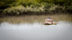 The Hunter (Stefan Marks) Tags: animal bird circusapproximans flying harrier kahu kāhu mangrove nature outdoor plant swampharrier tree auckland northisland newzealand