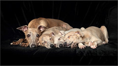 A Minutes Peace (seegarysphotos) Tags: seegarysphotos garylewis dogs puppies whippet whippetpuppies rest peace cute adorable sleep sleepy snooze paws