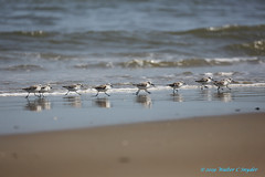 Birds I Annoyed While on the Beach...No 8...On the Run...there is More... (Walt Snyder) Tags: canoneos5dmkiii canonef100400mmf4556l birds beach waves spiritual ocean shoreline blue sandpiper outerbanks northcarolina