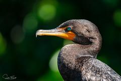 Cormoran à aigrettes (www.sophiethibault.ca) Tags: usa greencaywetlands nature faune oiseaux avril 2019 cormoran floride