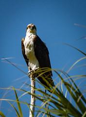 Osprey guarding his partner and nest (Beth Reynolds) Tags: osprey bird prey nesting guard hunter fort desoto preserve nature park florida