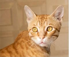 Tinu (aimanraza) Tags: cats orangetabby feline tomcat