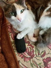 cat catches a computer mouse (Levana Una Laitman) Tags: cat pets animal
