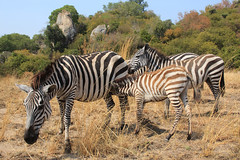 Zebras of Saanane Island (Pavlo Kuzyk) Tags: zebra animals animalkingdom baby sucking africa safari canon
