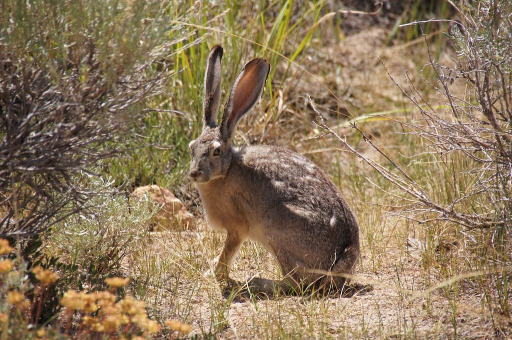 Jack Rabbit Usa >> The World S Best Photos Of Jackrabbit And Usa Flickr Hive Mind
