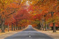 _DSC2739 copy (kaioyang) Tags: honouravenue mtmacedon autumn fallleaves sony a7r3 sonyfe24105mmf4g