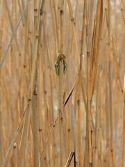 Search (nikjanssen) Tags: search zoekplaatje boomkikker treefrog riet reed explore