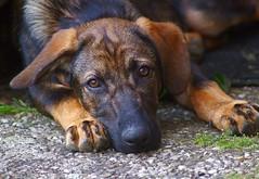 Paula (anubishubi) Tags: pentaxk100d haustier pet dog hund