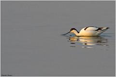 Avocetta (Fausto Deseri) Tags: avocet recurvirostraavosetta avocetta salinadicomacchio wildlife birds nature wild nikond500 nikkor300mmf28afsii nikontc17eii faustodeseri