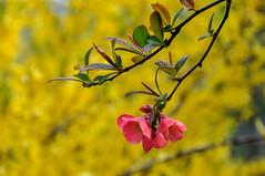 colors of spring (rafasmm) Tags: lodz łódź park citypark poland polska plant nature yellow red flowers flower outdoor color citynature nikon d90 nikkor 18105 afs