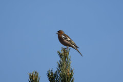 Chaffinch (Opsahla) Tags: chaffinch commonchaffinch birds nature bokfink