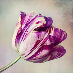 Marbled Tulip (Trudie S) Tags: flower tulip garden mauve marbled