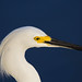 Snowy egret (Egretta thula) - Playa Pesquero, Holguin, Holguín Province, Cuba - Feb 2019