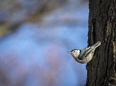 White Breasted Nuthatch.... (Kevin Povenz Thanks for all the views and comments) Tags: 2019 april kevinpovenz westmichigan michigan morning ottawa ottawacounty ottawacountyparks outdoors outside bird whitebreastednuthatch tree nature wildlife canon7dmarkii sigma150600