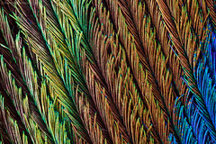 Peacock (S W Mahy) Tags: peacock feather nature closeup macro guernsey channelislands iridescent colours colors rainbow abstract amazing metallic