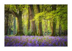 Blackbury Camp (Rich Walker Photography) Tags: woodland woods devon trees tree bluebell bluebells landscape landscapes landscapephotography canon england efs1585mmisusm eos eos80d