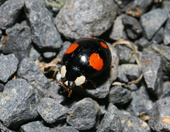 Harlequin Ladybird (Jenny Thynne) Tags: ladybird bieszczadynationalpark poland maniówka coccinellidae harmoniaaxyridis harlequinladybird