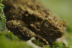 Asian giant toad (Yani Dubin) Tags: sigma brown asiangianttoad 180mmf28exdgoshsmapomacro reptile macro macrophotography malaysia color darktable animal phrynoidis green asper rivertoad basking gimp d850 langkawi toad nature lubuksemilang colour