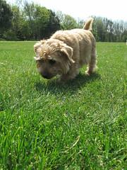 Dottie Football Pitches 01 (basilicamudi) Tags: dottie dottiewalker dotty dottywalker norfolkterrier terrier dog