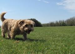 Dottie Football Pitches 02 (basilicamudi) Tags: dottie dottiewalker dotty dottywalker norfolkterrier terrier dog
