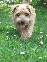 Dottie Football Pitches 03 (basilicamudi) Tags: dottie dottiewalker dotty dottywalker norfolkterrier terrier dog