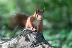 Beautiful Grace (Joachim Dobler) Tags: eichhörnchen eichhoernchen squirrel écureuil ardilla scoiattolo equito nature natur nagetier wildlife animal cute naturephotography squirrellove wildlifephotography bestsquirrel nutsaboutsquirrels cuteanimals