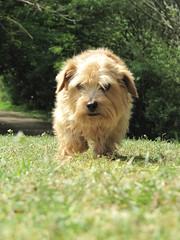 Tipple Footbal Pitches 01 (basilicamudi) Tags: tipple norfolkterrier terrier dog tipplewalker
