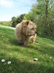 Tipple Football Pitches 02 (basilicamudi) Tags: tipple norfolkterrier terrier dog tipplewalker