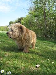 Tipple Football Pitches 03 (basilicamudi) Tags: tipple norfolkterrier terrier dog tipplewalker