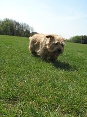 Tipple Football Pitches 04 (basilicamudi) Tags: tipple norfolkterrier terrier dog tipplewalker