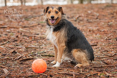 Picture of the Day (Keshet Kennels & Rescue) Tags: adoption dog ottawa ontario canada keshet large breed dogs animal animals pet pets field nature photography minpin minature pinscher jack mix terrier ball sit russell