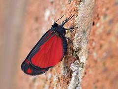 time to strech the underwing (Johnson Cameraface) Tags: 2019 april spring olympus omde1 em1 micro43 zd zuiko macro 50mm f2 johnsoncameraface cinnabarmoth cinnabar moth dayflying wall