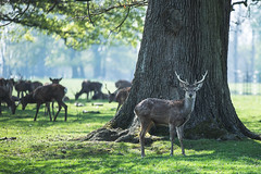 Deer Park, Woburn (Tim McDonnell) Tags: canon 5d mk3 woburn deer nature sigma 70200
