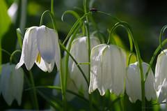 Long long Journey... (GintarasJ) Tags: minimalisn spring pavasaris macro makro nature gamta plant augalas augalai gėlės flowers insect vabzdys saulė sun šviesa light green žalia pentax pentaxk5ii sodas garden kaunas