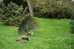 20190428-IMGP1880 (fleetingphotons) Tags: olympusstylusepic mjuii fujivelvia100 slidefilm e6 camerascan peacock kewgardens