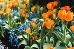 Tulips (Graham Gibson) Tags: sony a7rii voigtlander 40mm f12 nokton fe phipps conservatory pittsburgh gardens