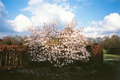 20190428-IMGP1870 (fleetingphotons) Tags: olympusstylusepic mjuii fujivelvia100 slidefilm e6 camerascan blossom harrisgardens
