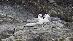 Fulmar (LouisaHocking) Tags: fulmar perranporth gull seagull southwest cornwall england wild wildlife coast beach seabird british bird cliffs nest pair courtship