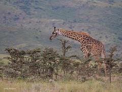 Maasai Giraffe Giraffa camelopardalis tippelskirchi (nik.borrow) Tags: mammal giraffe ngorongoro
