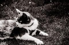 112 ~ 365 (BGDL) Tags: lightroomcc nikkor55200mmf4556g bgdl bwno7~365again nikond7000 blackandwhite milo cat garden justchillin
