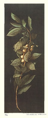 Laurel (Japanese Flower and Bird Art) Tags: flower laurel laurus nobilis lauraceae wako ito modern intaglio print japan japanese art readercollection