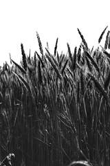 Wheat Field at Latsia (2) (Polis Poliviou) Tags: nature green agriculture plant outdoors cyprustheallyearroundisland cyprusinyourheart yearroundisland zypern republicofcyprus ©polispoliviou2019 polispoliviou polis poliviou πολυσ πολυβιου leaf field mediterranean wheatfield winterincyprus flora grass environment healthy beauty afiap motherearth art agricultural soil texture rough postcard brunch grey brown season countryside organic ecology ecological spring lovecyprus sunlight light sun latsia daisyflower naturetree cypruscountryside nicosia lefkosia yellow