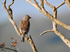 Linnet (LouisaHocking) Tags: southwest cornwall england british bird wild wildlife nature coast hayle linnet