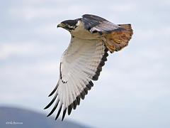 Augur Buzzard Buteo augur (nik.borrow) Tags: bird buzzard raptor ngorongoro