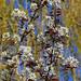 Felsenbirnenblüten (04)